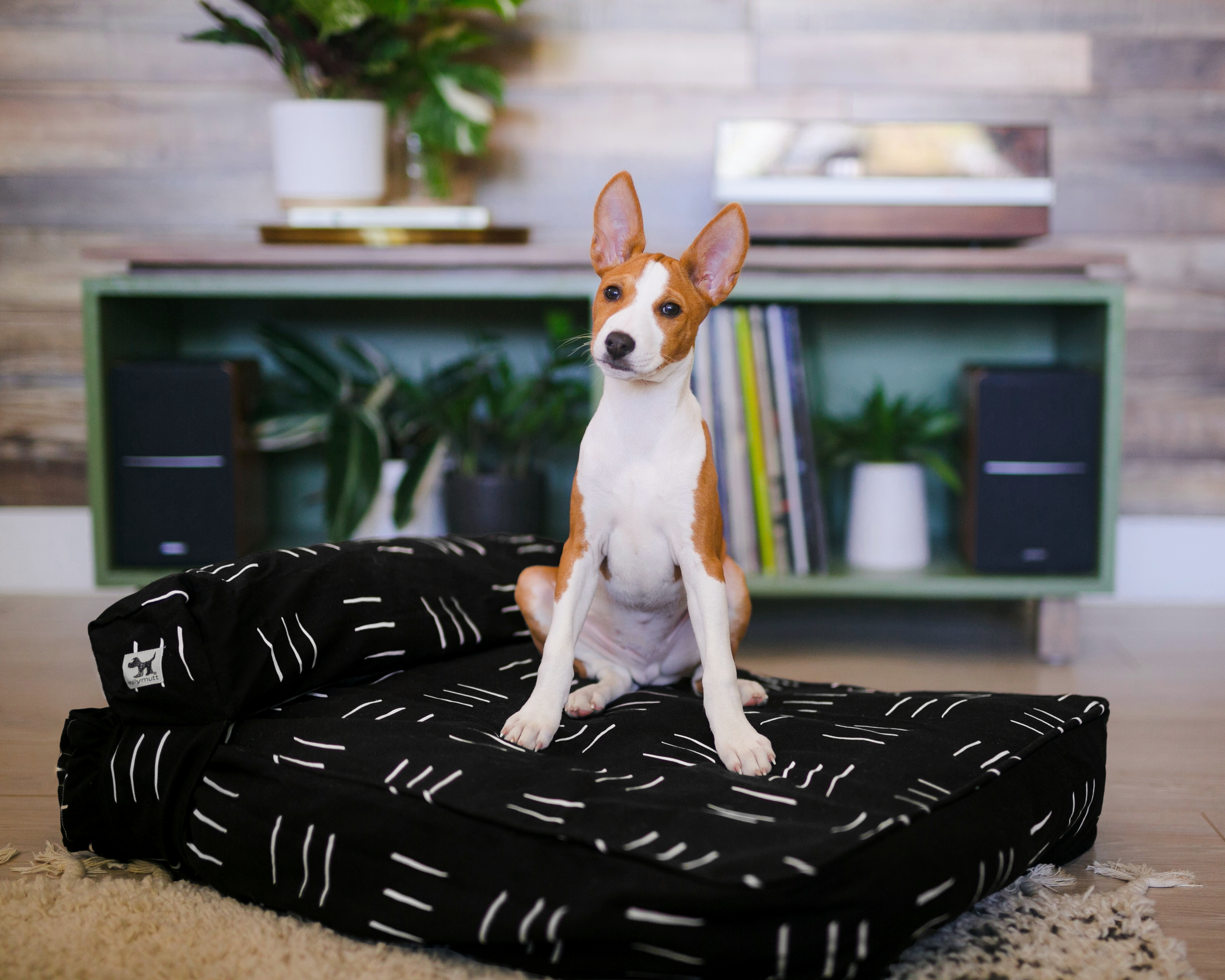 Brown and white dog sitting on a Molly Mutt black striped dog bed